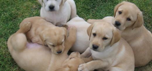 Labrodor-Cuccioli
